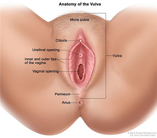 Diagram of the vulva. The following are labeled: Vulva, mons pubis, clitoris, urethral opening, inner and outer lips of the vagina, vaginal opening, perineum, anus.